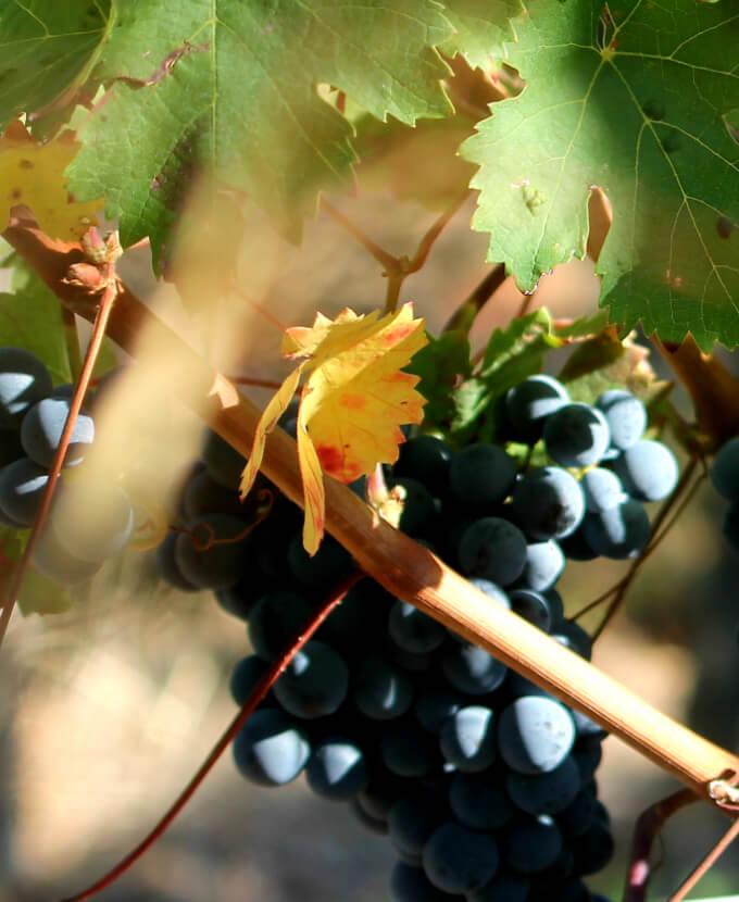 Grappe de raisins rouges au domaine Bellivier, vignerons en AOC Chinon