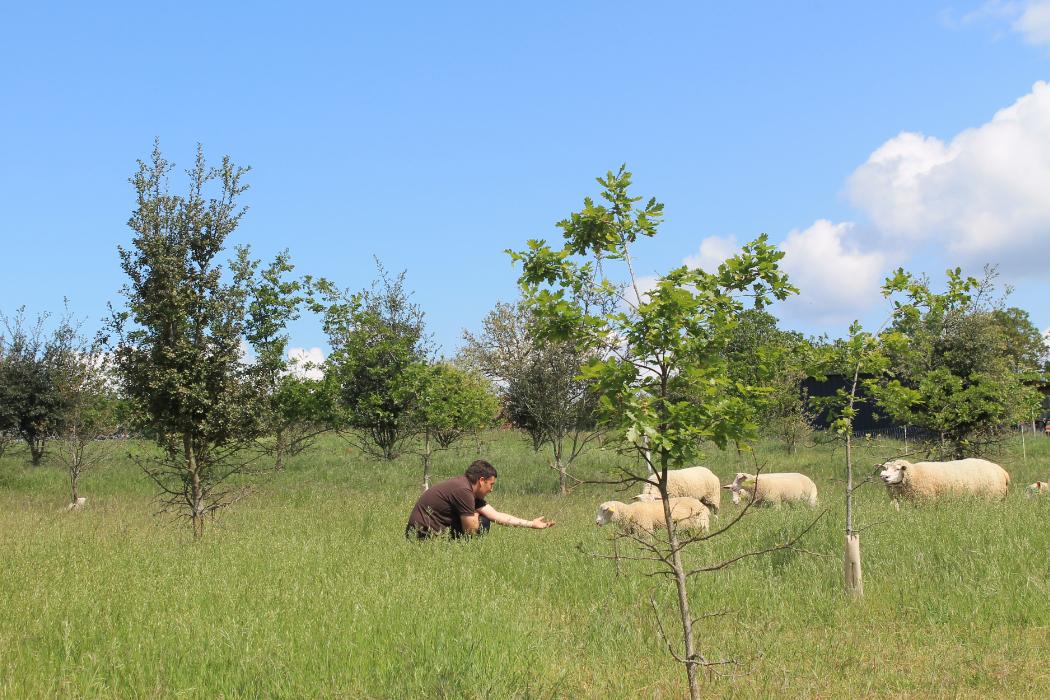 Truffière Domaine Bellivier avec nos brebis