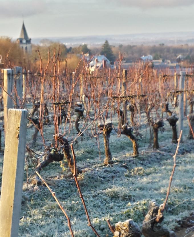 Le travail hivernal des vignobles en AOC Chinon du domaine Bellivier à Huisme