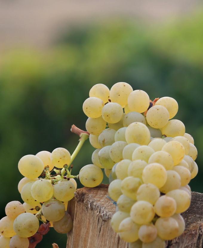 Grappes de raisin blanc du domaine des Bellivier, cépage chenin, AOC Chinon