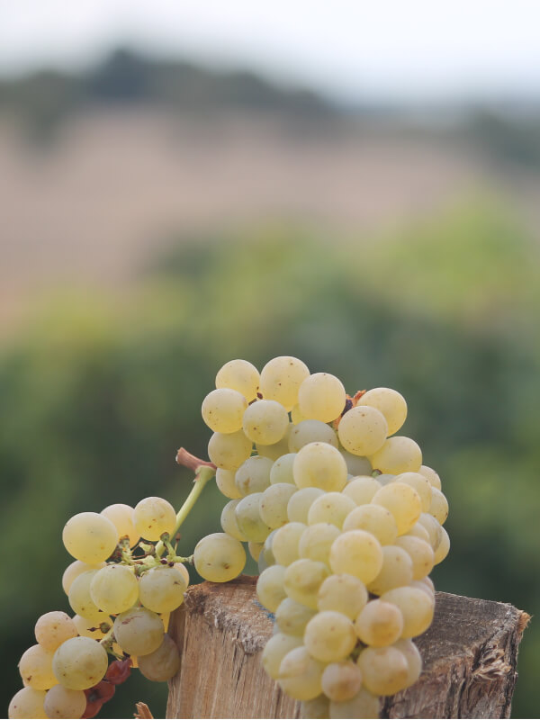 Grappes de raisin blanc, cépage chenin, du domaine Bellivier, vignerons en AOC Chinon