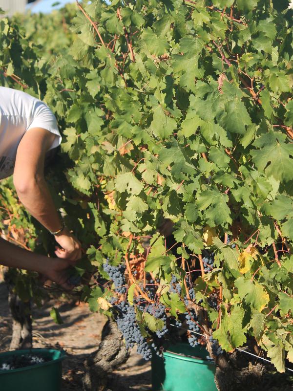 Vendange dans les vignes en AOC Chinon au domaine Bellivier